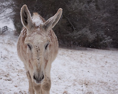 Ty (audreybevins) Tags: winter portrait snow animal digital canon virginia farm tennessee donkey sigma overcast 50mm14 depthoffield snowing blizzard appalachia farmanimal equine petportrait shallowdepthoffield 2014 longears mammothdonkey audreybevins