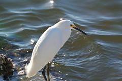 Snowy Egret (IAmProudToBeASwifty) Tags: usa white bird birds unitedstates random snowy group creation hibiscus gods darling ding swag egret 2014 dingdarlingmore