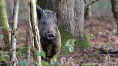 The Forest of Dean (KHR Images) Tags: wild female mammal nikon gloucestershire mature sow nationalgeographic forestofdean wildboar susscrofa 70300vr d7100 kevinrobson khrimages