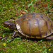 Three-toed box turtle, Saline County, Arkansas