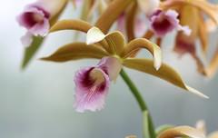 Laelia tenebrosa (blumenbiene) Tags: flowers plant orchid flower garden botanical orchids pflanze leipzig laelia orchidee blüte garten blüten boga orchideen botanischer tenebrosa orchideenblüten orchideenblüte