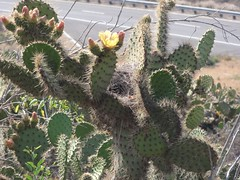 Alta Vicente CAWR Survey (William Cullen) Tags: nests ranchopalosverdes opuntialittoralis palosverdespeninsulalandconservancy williamcullen cactuswrensurvey altavicentenaturepreserve
