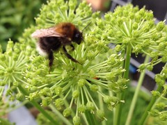 A Tree Bumblebee (Bombus Hypnorum) making use of the Angelica at the workshop