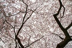 好多櫻花哦 (ilin Huang) Tags: 日本 2014 京都御苑 京都市 京都府 京阪神親子七日遊