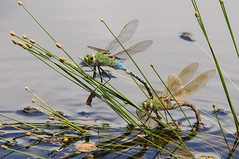 Dragonflies' Rough Love (fenicephoto) Tags: dragonflies dragonfliesmating ruby10 ruby5