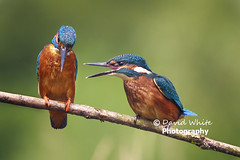 But Dad, everybody else does! (bretton98) Tags: birds adult humour conversation juvenile alcedinidae kingfishers aberford bretton98 davidwhitephotography canon7dmki
