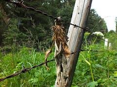 HFF!  Fence with dried leaf (benlarhome) Tags: canada calgary rural fence alberta barbedwire prairie hff