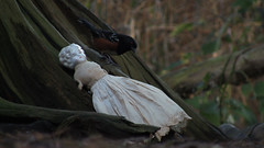 SPOTTED TOWHEE_sparrow_circa 2017. TWIG_china doll (Hertwig mold 136)_circa 1880 (leaf whispers) Tags: shoulderheaddoll chinadoll chinashoulderhead whitedoll blueeyes blondhair germandoll madeingermany porcelaindoll porcelainshoulderhead antique doll beautifuldoll prettydoll vintagepoupéetêtebuste exquisitedoll nakeddoll nudedoll unique dolloriginal dollart dollartistic dolldecayed beautylowbrowchina headcute poupée ancienne porcelaine parian noclothes withoutclothes ilovemydoll antiquedoll antiquechinaheaddoll chinaheaddoll vernissé vernissée handmadedoll têtebuste porcelainevernissée têtebusteenbiscuitvernissé vintage sawdust stuffedwithsawdust sawduststuffed olddoll spiritdoll haunteddoll ghostdoll ghostlydoll cute cutedoll kawaii child cracked broken weirddoll crazydoll oldtoy antiquetoy bizarredoll artisticdoll decayedbeauty lowbrow china onwhite maker artist obsolete 136 dame xixe siecle écolefrançaise