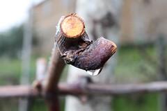 interruzioni (maresogno67) Tags: vite potatura primavera rugiada nature taglio