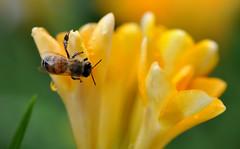 Spring Time (collage42 -Pia-Vittoria//) Tags: fiori spring flowers bug insetto yellow green fresie nikond90 macro flores primavera bokeh ruby10 ruby15