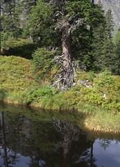 07-IMG_8376 (hemingwayfoto) Tags: österreich austria baum europa fichte hochmoor hohetauern landschaft moorauge nationalpark natur naturschutzgebiet rauris rauriserurwald reise tannenbaum urwald wald
