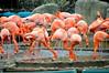 Paseo por el Faunia (clacatua22) Tags: animales fauna faunia madrid invierno fotografía flamenco espetacular grupo bandada agua zoo ave rosa naranja pico