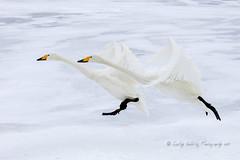 Whooper Elegance (pixellesley) Tags: birds swans hooperswans animal mammal flying landing ice lake frozen snow skating elegant cygnuscygnus lesleygooding bokeh
