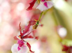 Beetle on the orchid (Rinaldo Lima) Tags: oncidium oncidiumsharrybabysweetfragrance sharrybaby sweetfragrance orchid voigtlander nokton 25mm f095