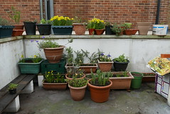My Garden 17-02-26 (04) (Funny Cyclist) Tags: garden gardening soil compost plants london back trellis fence dafodils bean containergarden flowerpot bed