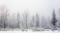 Bow River Island Winter Fog (asphotographics) Tags: schneidercomponon135mm156 naturalfeature riparian nature water frost camerabody spruce trees toyofield45ax groundcover aperture tree toyo postprocessing fotodiox4x5ef movingwater stitched cold riverbank cameraaccessory bowriver ice adaptor conifer toyoview schneider lensadaptor winter season ecosystem country asphotographics time outdoor landscape topography riverchannel bodyofwater bowmontpark hoarfrost canada timeofday alberta calgary river forest fotodiox f16 plant fog sky cameralens sunrise riverine
