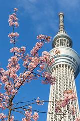Tokyo Skytree with Sakura