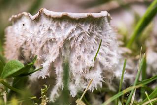Dog Lichen (Peltigera canina?)