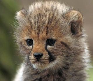 cheetah Beekse Bergen BB2A7879