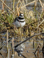 Blurry Killdeer (MissLydia) Tags: birding wastate march nature easternwashington columbianationalwildliferefuge spring othello birds sandhillcranes