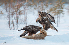 Let's start eating healthy! (MatsOnni) Tags: goldeneagle redfox maakotka kettu aquilachrysaetos vulpesvulpes birdofprey eagle petolinnut linnut