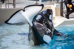 Ikaika (Jennifer Stuber) Tags: seaworld seaworldsandiego orca killerwhale orque shamu shamustadium cetacean orcinusorca orcinus black white nikond750 nikon swc swsd