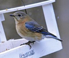 Bluebird (carpingdiem) Tags: indianapolis winter bluebird feeder