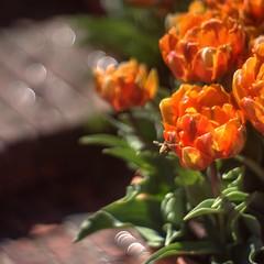 Bokehlishous flowers (PeterThoeny) Tags: filoli woodside california outdoor garden flower bee bokeh 1xp raw nex6 vintagelens canon50mmf12 canon photomatix hdr qualityhdr qualityhdrphotography fav100