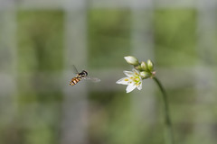 HoverFly, Onion-Weed, and Fence (S♡C) Tags: onionweed fence friday insect flower plant weed hoverfly tamron