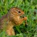 Ochre Bush Squirrel (Paraxerus ochraceus) enjoying some grub