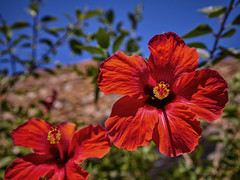 Hibiscus red. (hajavitolak) Tags: a7 csc captureone evil fullframe fx ilce7m2 milc mirrorless sinespejo sony sonya7ii sonya7m2 emount bokeh beautiful flores flowers primavera spring zeiss zeiss3528 zeiss35 naturaleza nature bonita beauty
