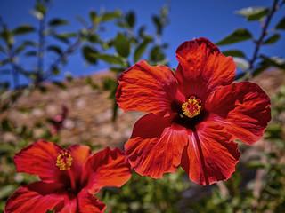 Hibiscus red.
