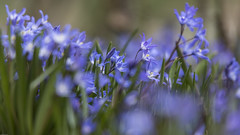 Blausternchen Scilla bifolia 170322 (Bianchista) Tags: 2017 bianchista blausternchen frühjahr märz scillabifolia
