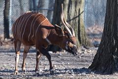 Bongo Stretching (Eric Kilby) Tags: franklinpark zoo bongo