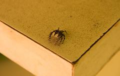 Aranha 1 (Felippe Frigo) Tags: aranha spider mesa table bege tigrada