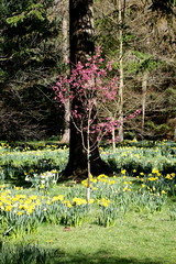 Blossom and daffodils (Sparky the Neon Cat) Tags: europe united kingdom uk great britain gb england north yorkshire thorp perrow arboretum flower daffodil blossom