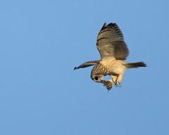 Asio flammeus,Velduil (Theüs) Tags: asioflammeus velduil theüsvankleffens bentwoud uil veldmuis muis vogel birdwatcher