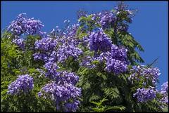 Last of Jacaranda for 2016-17 season-2= (Sheba_Also 11.8 Millon Views) Tags: last jacaranda for 201617 season tree flower purple