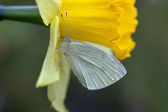 They're back! (KsCattails) Tags: butterfly daffodil jccc kscattails spring hidden white yellow flower bulb insect kansas