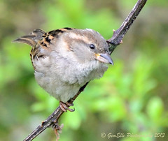 Female House Sparrow (GemElle Photography) Tags: house bird nikon sparrow housesparrow gemelle sigma50500 d600 gemelle1