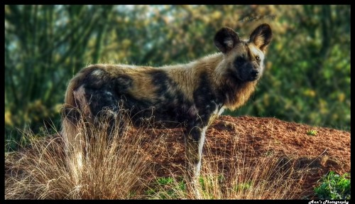 African Painted Dog!
