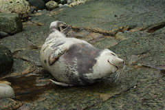 Seal Of Contentment (Derbyshire Harrier) Tags: wet grey spring rocks damp newcastleupontyne rockpool tynewear greyseal 2013 pathfindertours thenorthumbrianexplorer