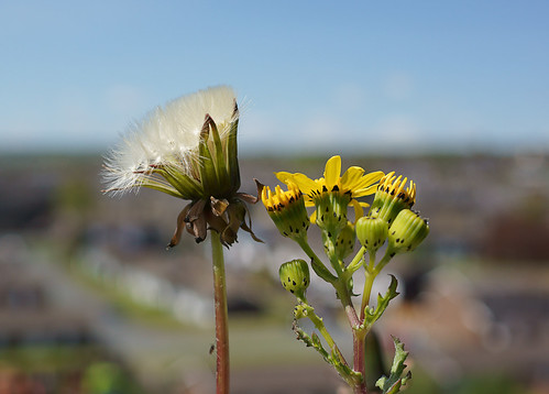 Dandelion & yellow thingy..