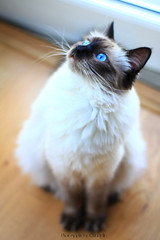 Chilli 2 (SuperNiima) Tags: pet cute cat blueeyes ragdoll
