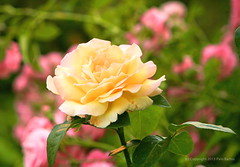 Pastel Tea Rose (johan.pipet) Tags: pink red flower macro green nature rose yellow canon garden europe tea pastel sunny pd flowerbed slovensko slovakia palo zahrada bartos kvet ruza barto