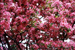 SPRING BLOSSOMS (lauren s_) Tags: pink flowers tree film nature outdoors 50mm spring kodak branches blossoms fresh growing 400iso