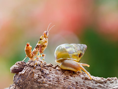 IMG_1806 (thienbs) Tags: macro mantis thienbs