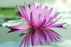 Reflection (Anna Kwa) Tags: pink flowers macro art marina singapore waterlily marinabaysands artsciencemuseum