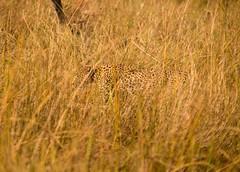 20130601_Botswana_Vumbura_Plains_0030-2.jpg (Bill Popik) Tags: africa botswana mammals leopards 2places 3animals africancats leopardconcealed
