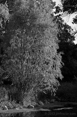 On Silver Pond (Jim Frazier) Tags: park trees summer blackandwhite bw plants lake tree nature water monochrome june gardens museum forest woodland botanical illinois pond woods flora alone quiet natural parks dupage il single lone botanic desaturated lonely marsh botanicgarden solitary contemplative horticulture preserve botanicalgarden isolated q3 lonetree wheaton publicgarden cantigny woodlot dupagecounty cantignypark 2013 ldaugust ©jimfraziercom ld2013
